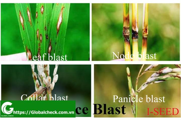 Bệnh Đạo Ôn, phương pháp phòng trừ Đạo Ôn trên lúa